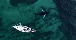 Humpback whale and Barba, Troms region 2016. © David Go
